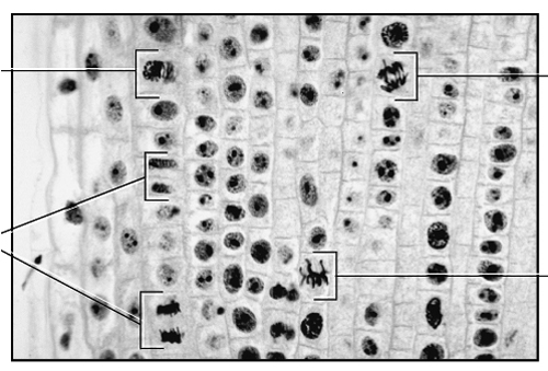 analysis mitotic index in onion root tip cells Published: mon, 5 dec 2016 cells which are actively dividing mitotically can be found at the root tip region of a plant this experiment is conducted to observe the mitosis process occur at the root tip of the plant, comparing the sizes of cell undergoing division with the one that is not, and to calculate the mitotic index of the tissue region.