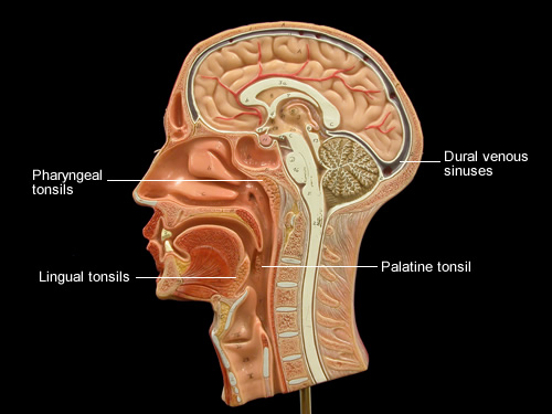 2245 also The Respiratory System Structure And Function Nursing Part 1 besides Flashcards Body Parts 8825 additionally Nervoussystem organsofthebody together with R10 33 Anatomy09. on head of the human circulatory system