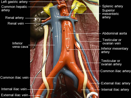 Labeled further Episode 60 Resuscitative Hysterotomy First Trimester Emergencies furthermore Primary And Secondary Lymphoid Organs 64055020 together with A Stab To The Neck as well Watch. on in and circulatory