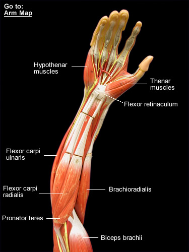 Muscular system labeled arm