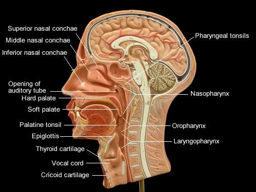 Oropharynx Cat Human Respiratory Syst...