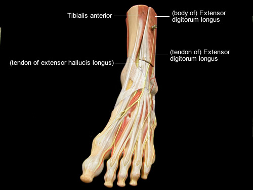 Anatomy of leg and foot