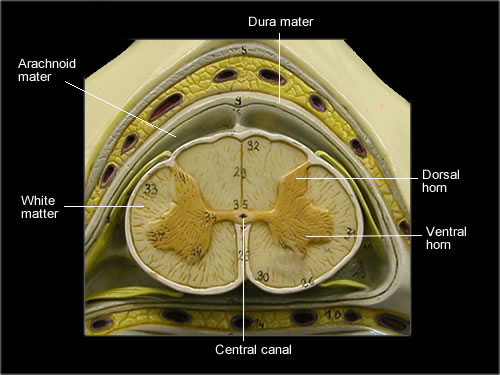 Spinal Cord Cross-Section