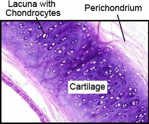 Anatomy A215 Virtual Microscopy